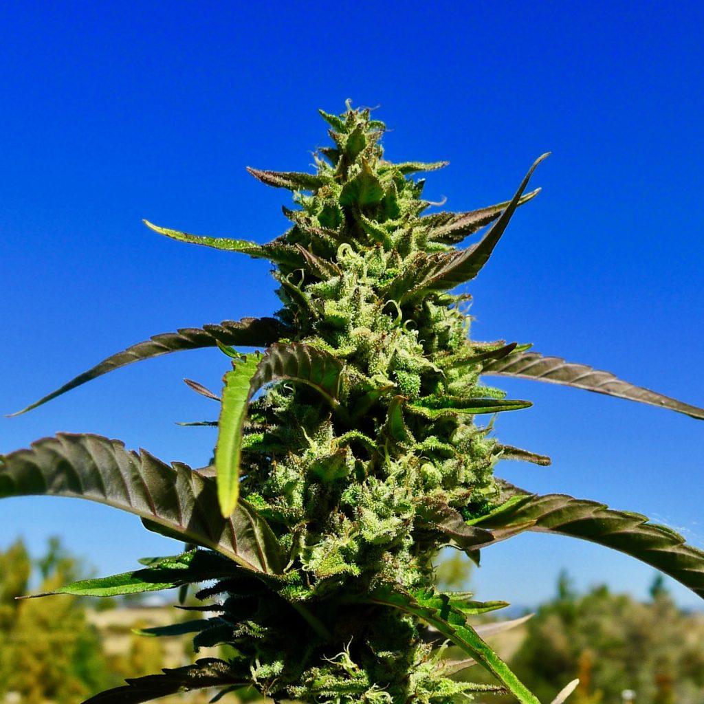 bonafide cannabis oregon harle tsu