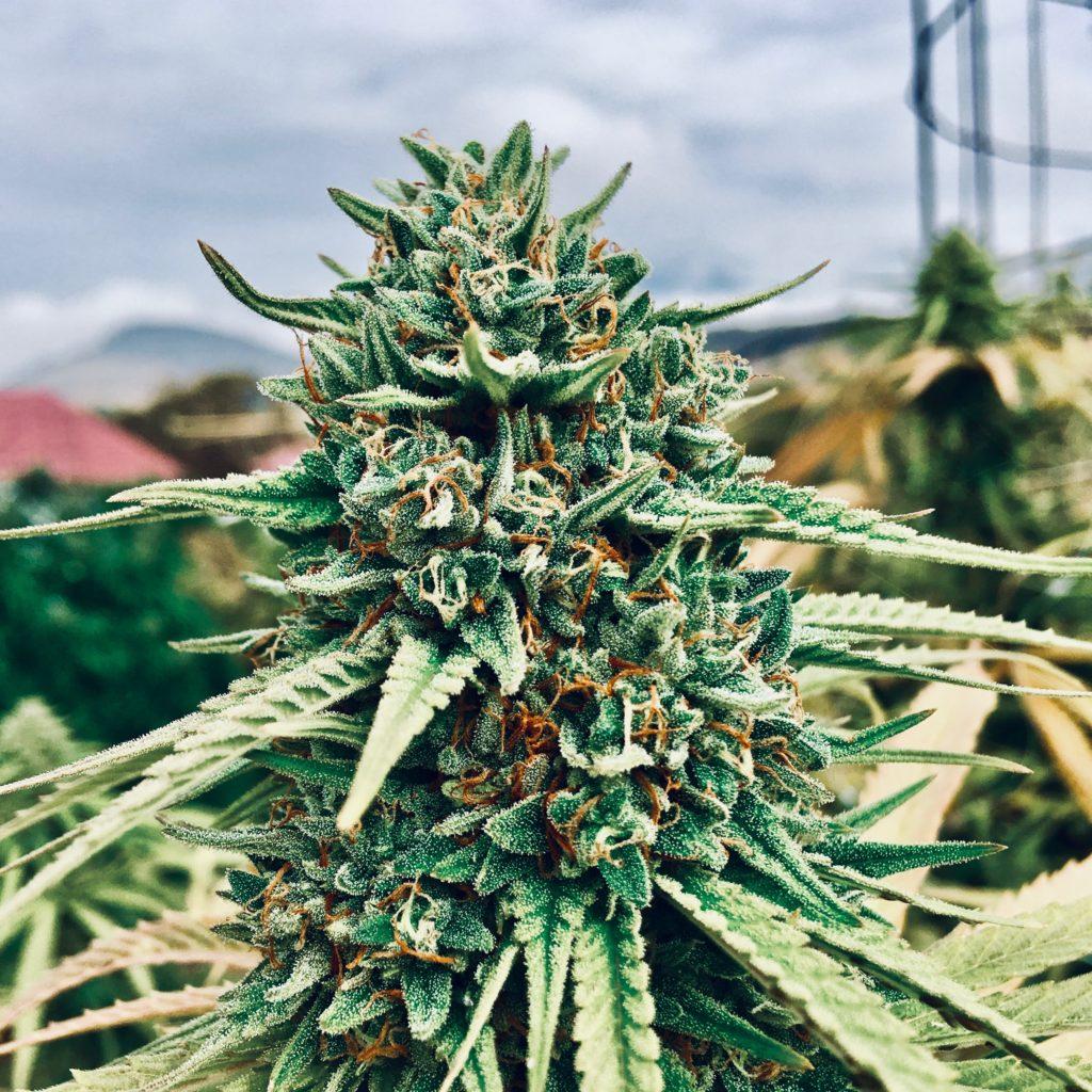 bonafide cannabis oregon grizzly glue